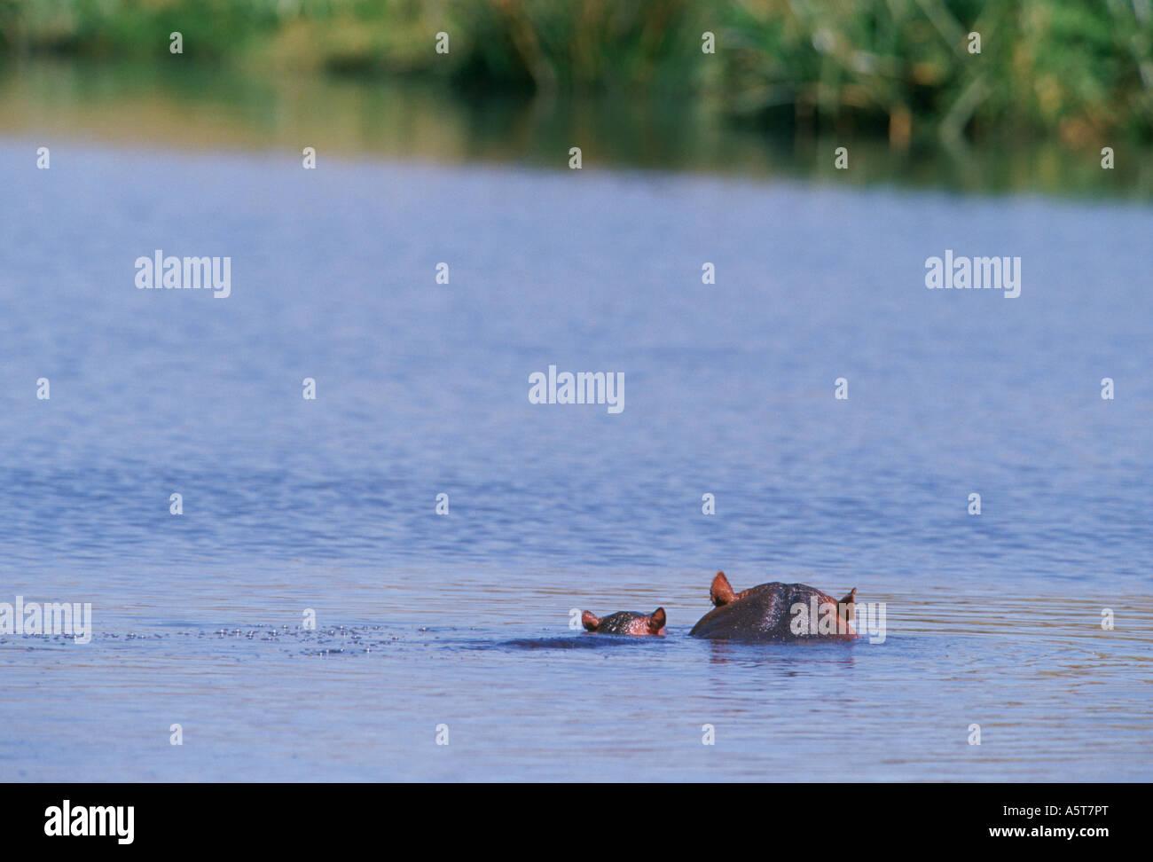Baby hippo with mom Ngorongoro Crater Tanzania - Stock Image