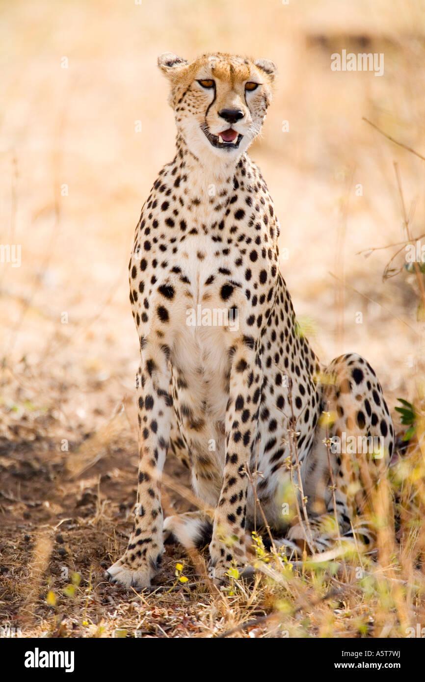Cheetah in shade from sun sunshine on savannah outdoors in wild Masai Mara National Nature Reserve Kenya East Africa Stock Photo