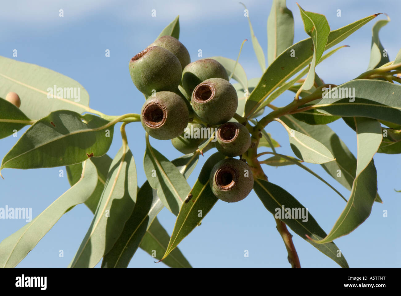 The fruit pods or Gum Nuts of the Red Flowering Gum Tree Eucalyptus Ficifolia Stock Photo