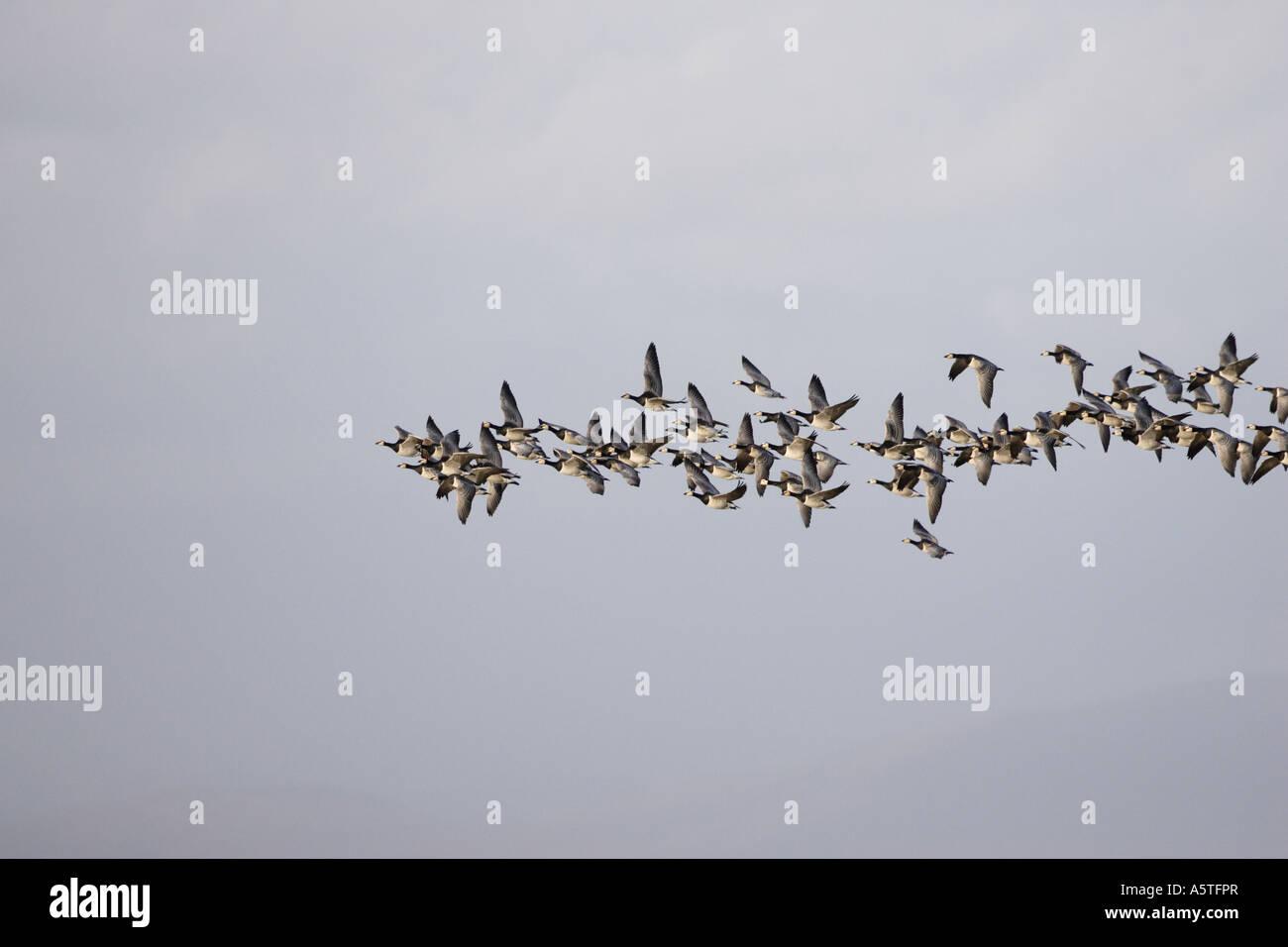 Barnacle Geese in Flight - Stock Image