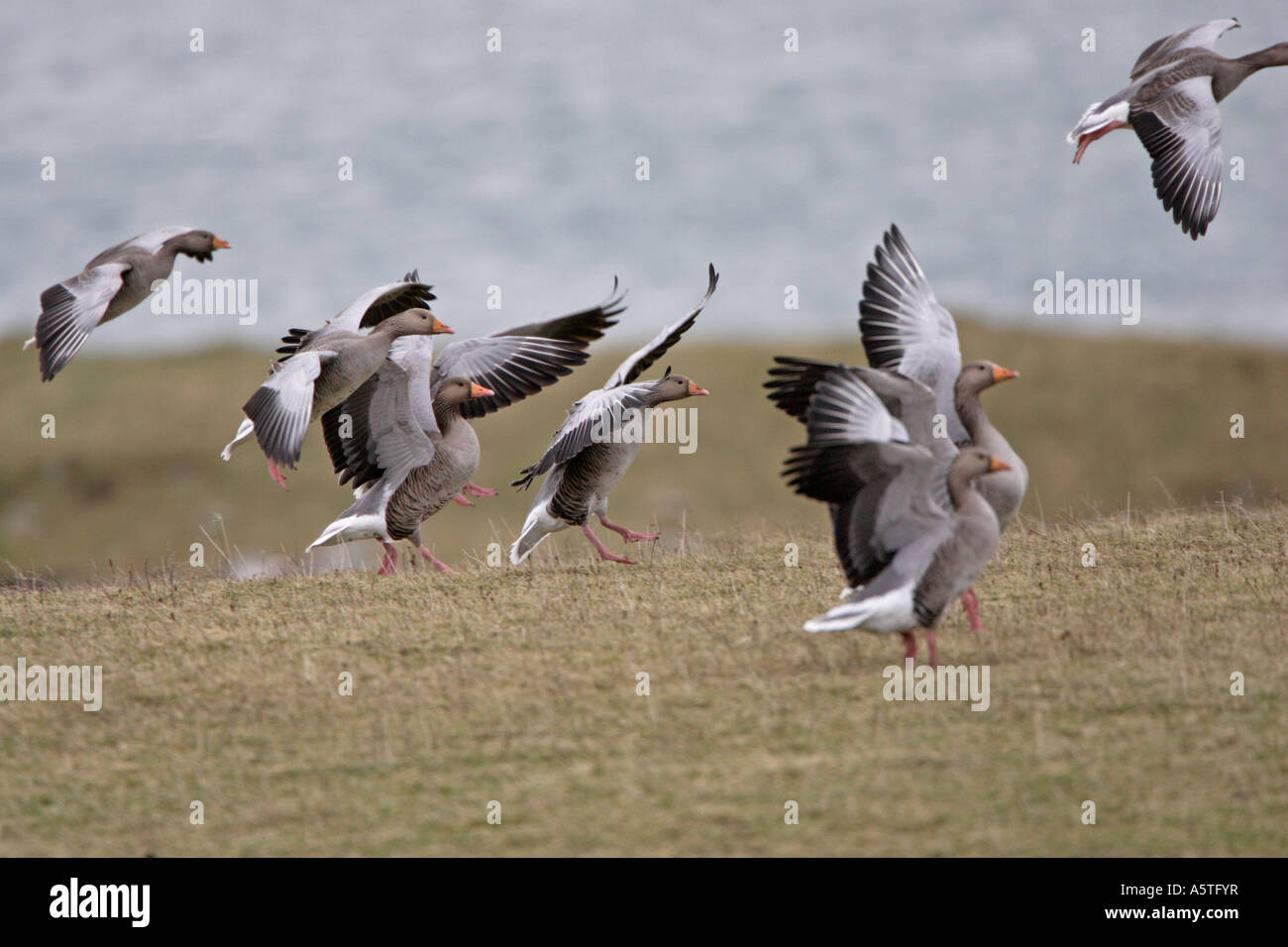 Wild Greylag Geese landing in the Outer Hebrides - Stock Image