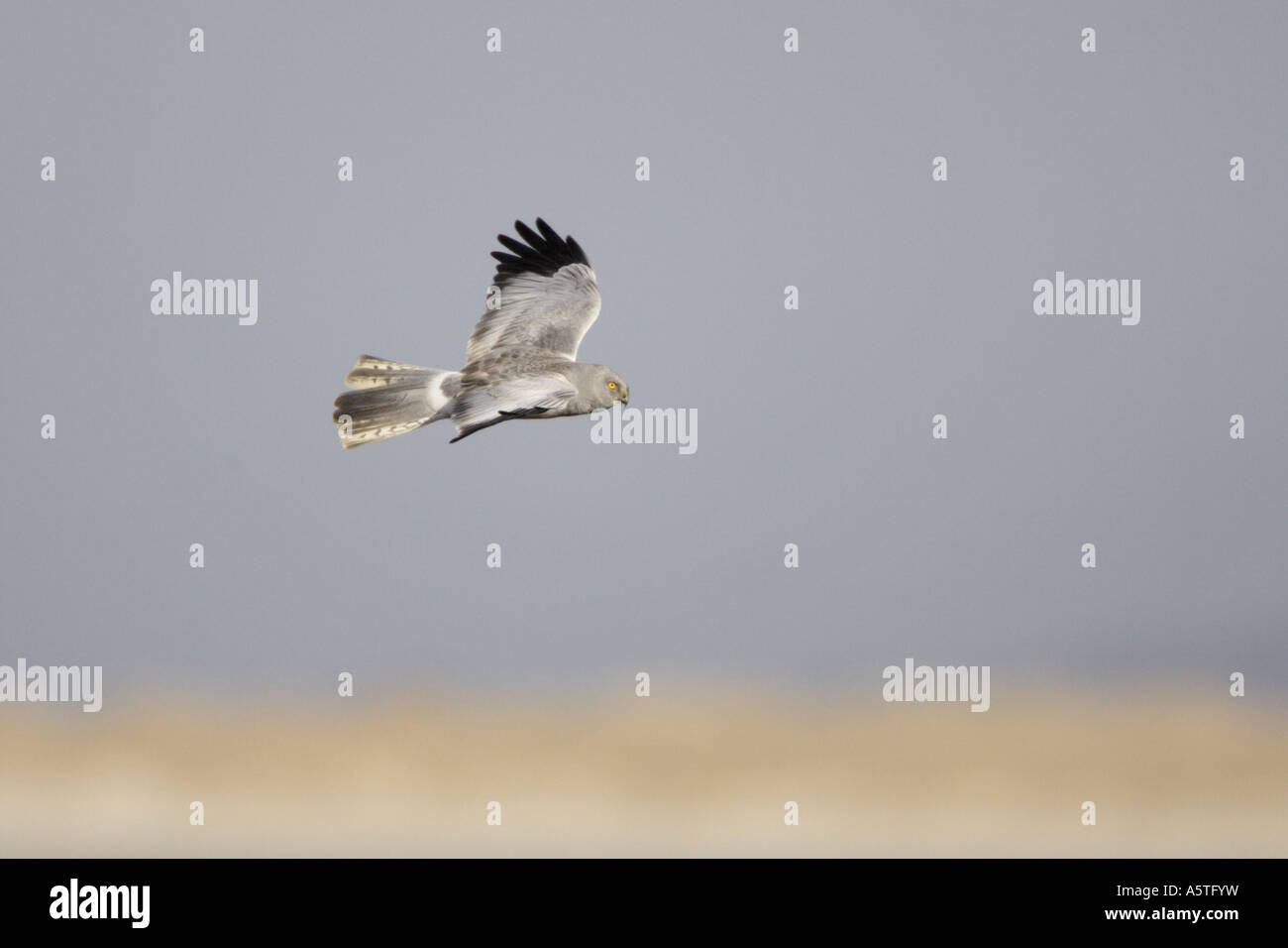 Male Hen Harrier in flight on the Outer Hebrides Stock Photo