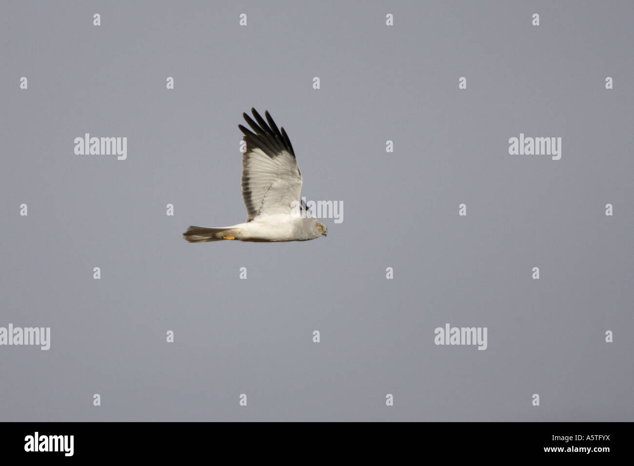 Male Hen Harrier in flight on the Outer Hebrides - Stock Image