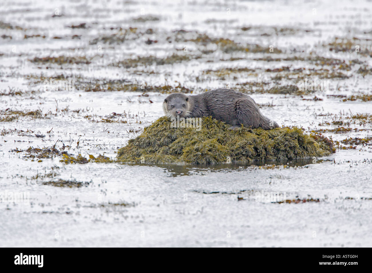 Otter on the shoreline in the Outer Hebrides - Stock Image