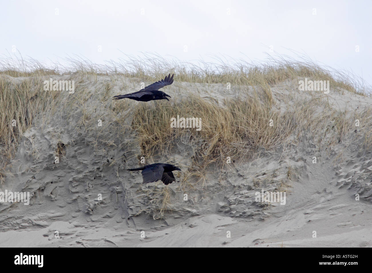 Two Ravens flying over sand dunes in the Outer Hebrides Stock Photo