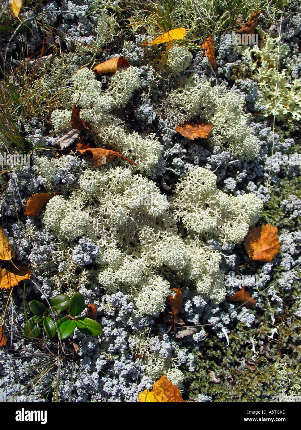 Reindeer moss, Jotunheimen, Norway Stock Photo
