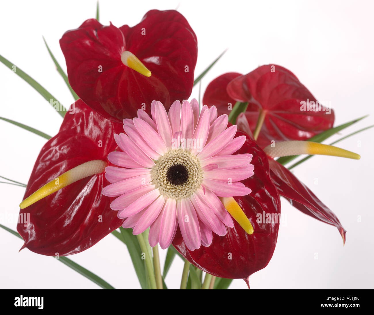 Single Pink Daisy In Arrangement Of Tropical Red Anthurium Flowers