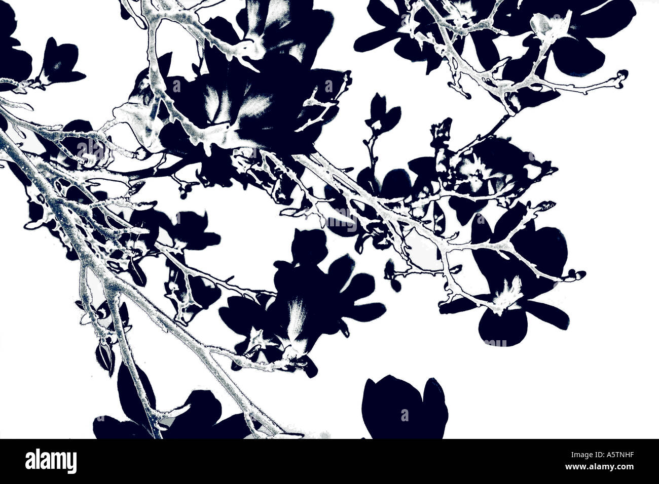 A pretty magnolia tree floral pattern. - Stock Image