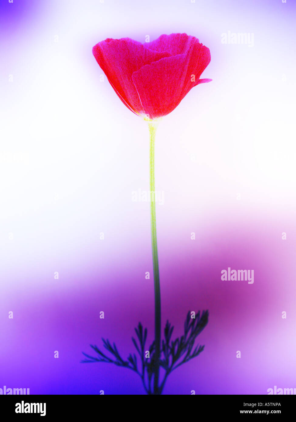 A color-enhanced single Poppy flower. - Stock Image