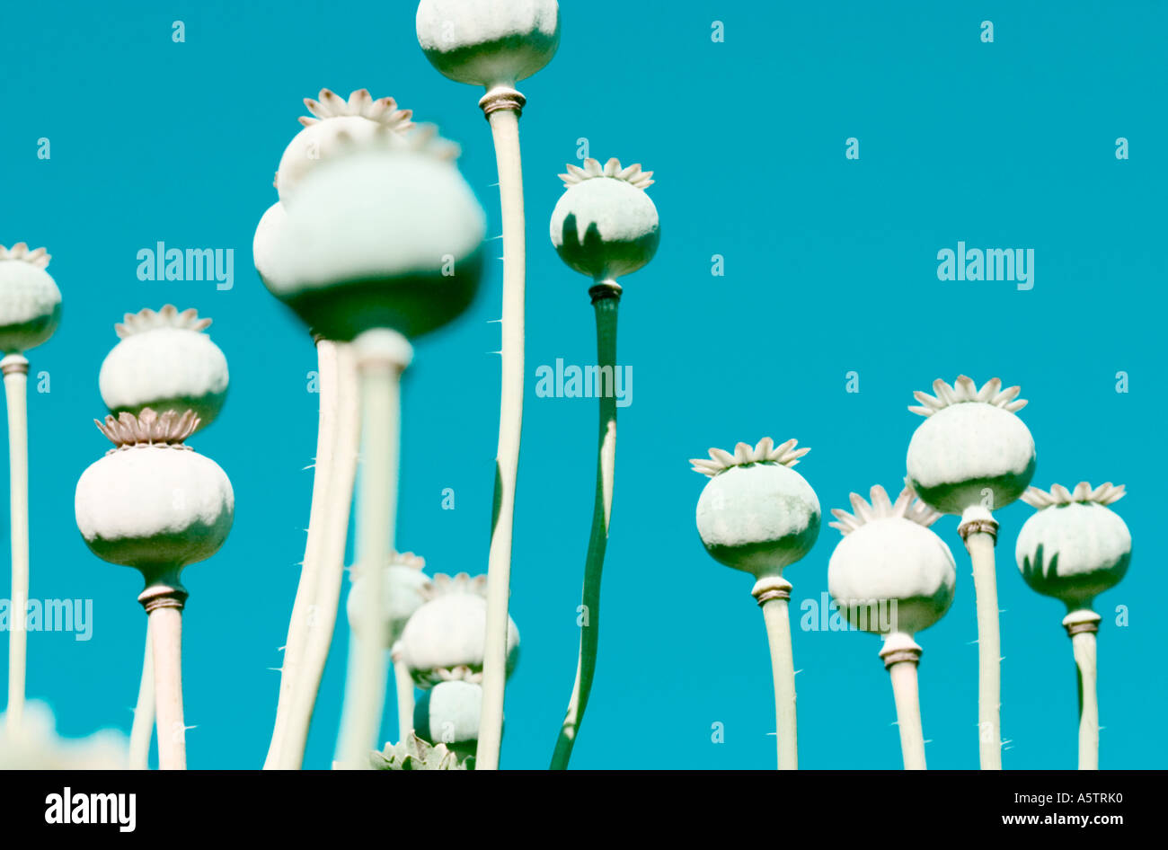 An abstract colour-enhanced shot of poppy seed head's. - Stock Image