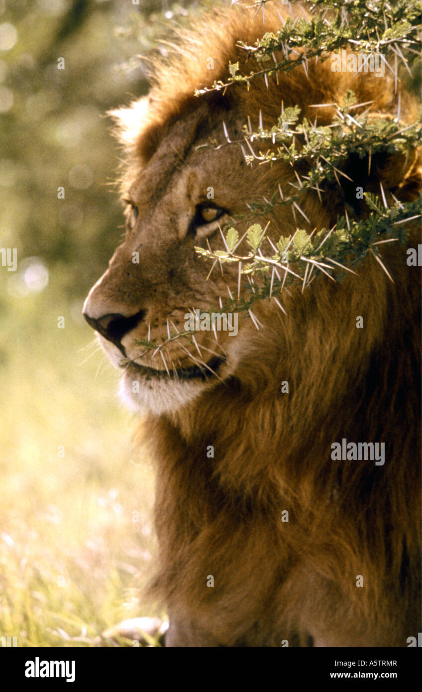 Mature male lion with long flowing mane sitting in shade of thorny acacia bush Amboseli National Park Kenya Stock Photo