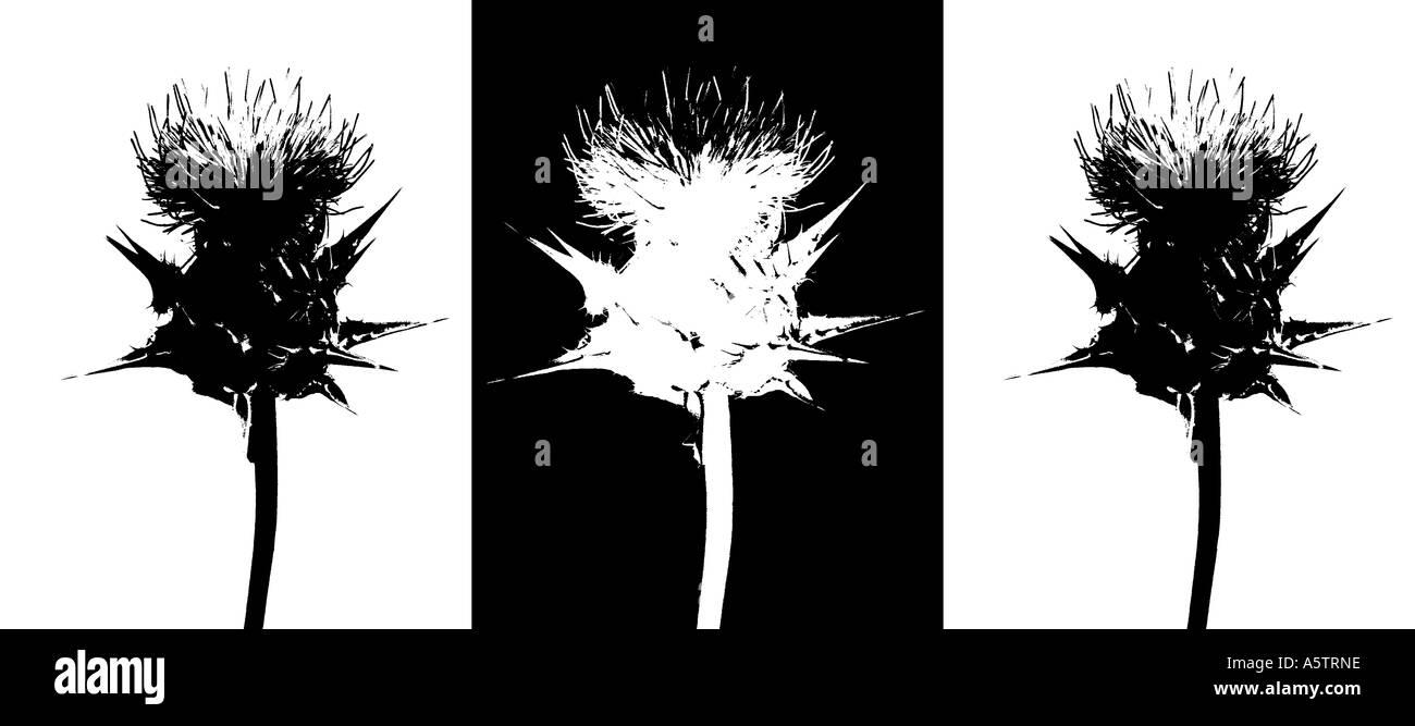 Graphic pattern of the healining plant, Milk thistle - Silybum marianum - Stock Image
