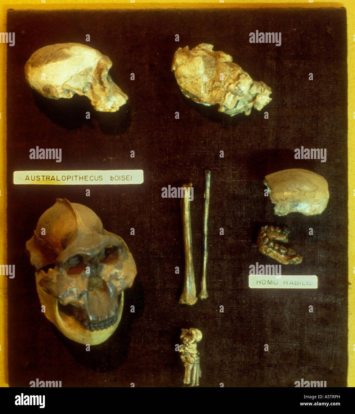 AUSTRALOPITHECUS BOISEI and HOMO HABILIS fossil exhibits National Museum Nairobi Kenya East Africa - Stock Image