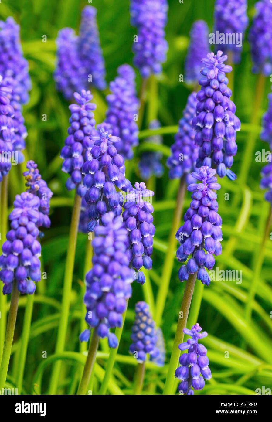 Lots small blue flowers common stock photos lots small blue common name grape hyacinth latin name muscari hyacinth stock image izmirmasajfo