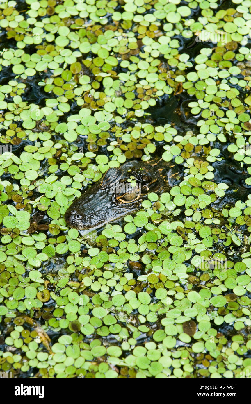 American Alligator (Alligator mississippiensis) In duckweed, Audubon Corkscrew Swamp Sanctuary, South Florida - Stock Image