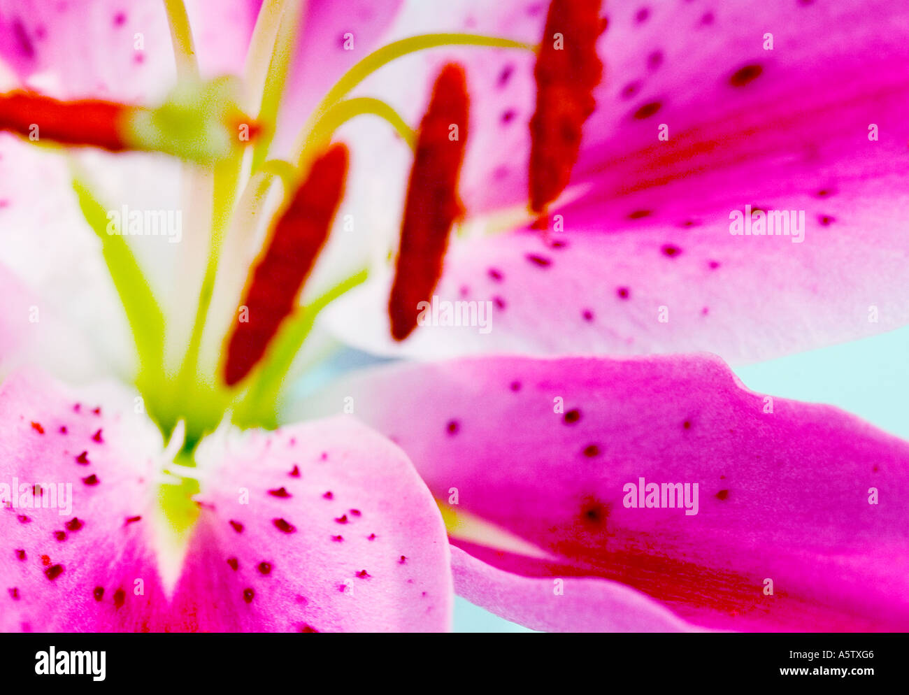 A close up detailed abstract shot of a lily  flower. - Stock Image