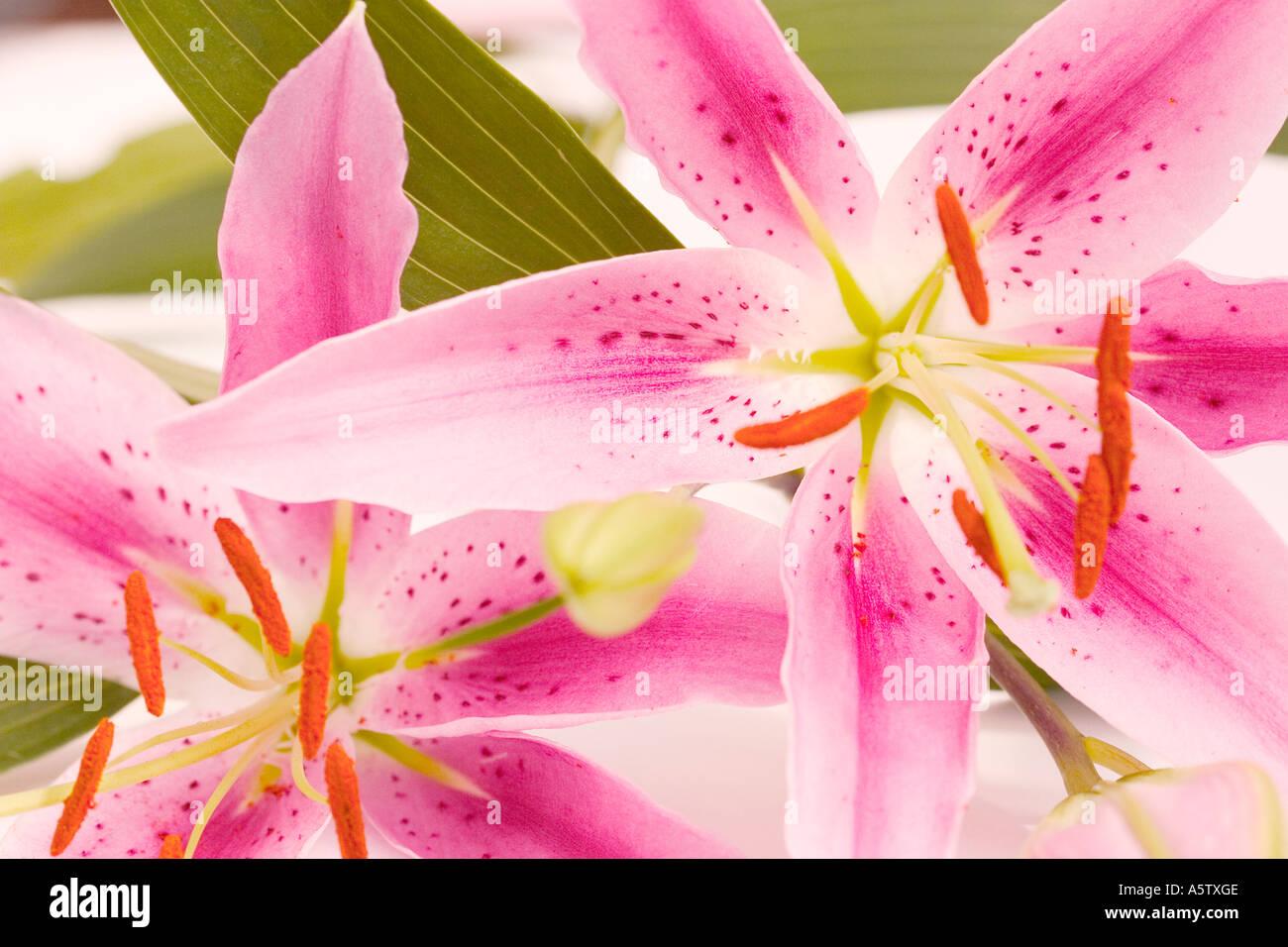 Trumpet Flowers Exotic Lily Lilium Stock Photos Trumpet Flowers