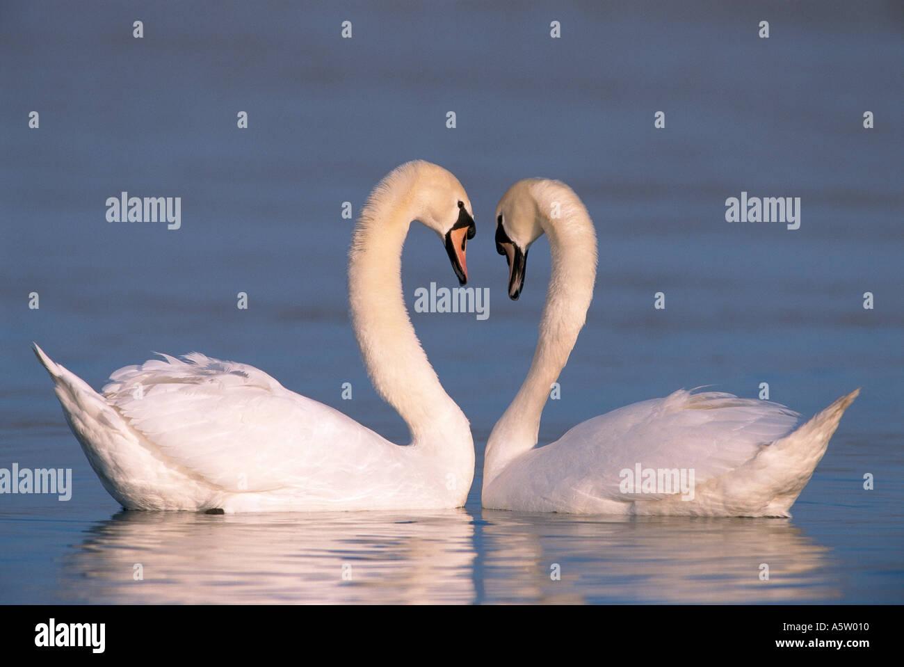 Mute Swans in water - heart / Cygnus olor Stock Photo
