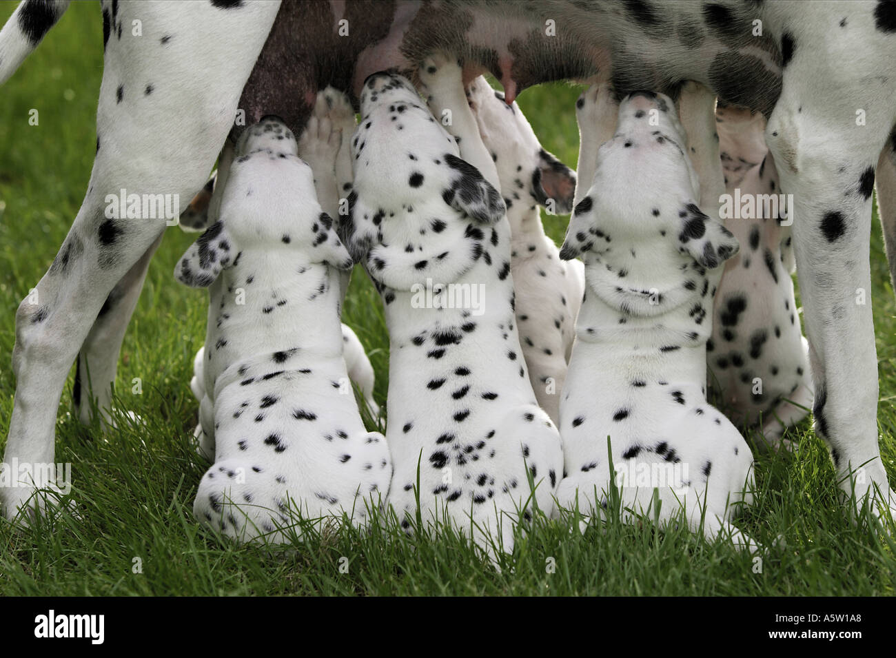 Dalmatian dog. Mother suckling puppies on a meadow - Stock Image