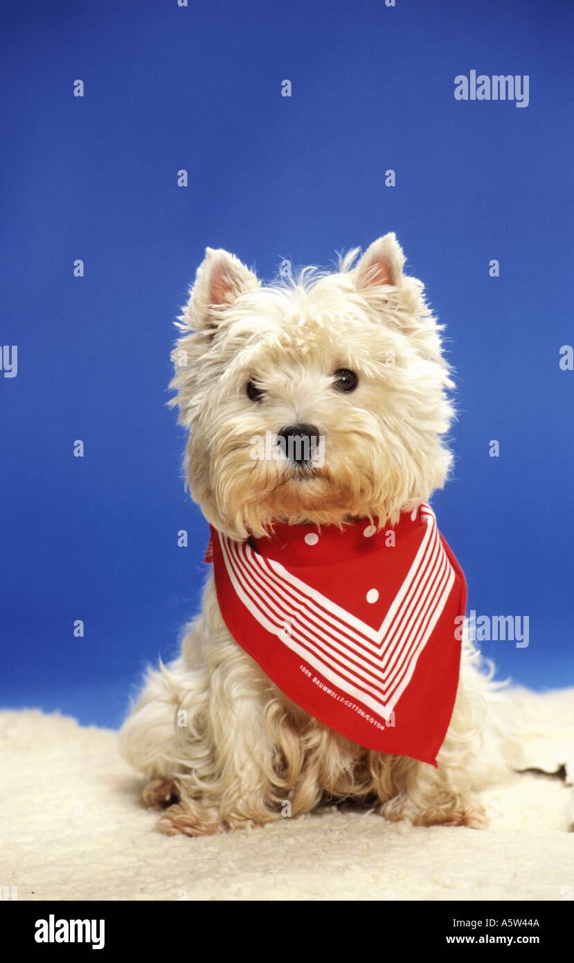 Westhighland White Terrier dog with red neckerchief - Stock Image