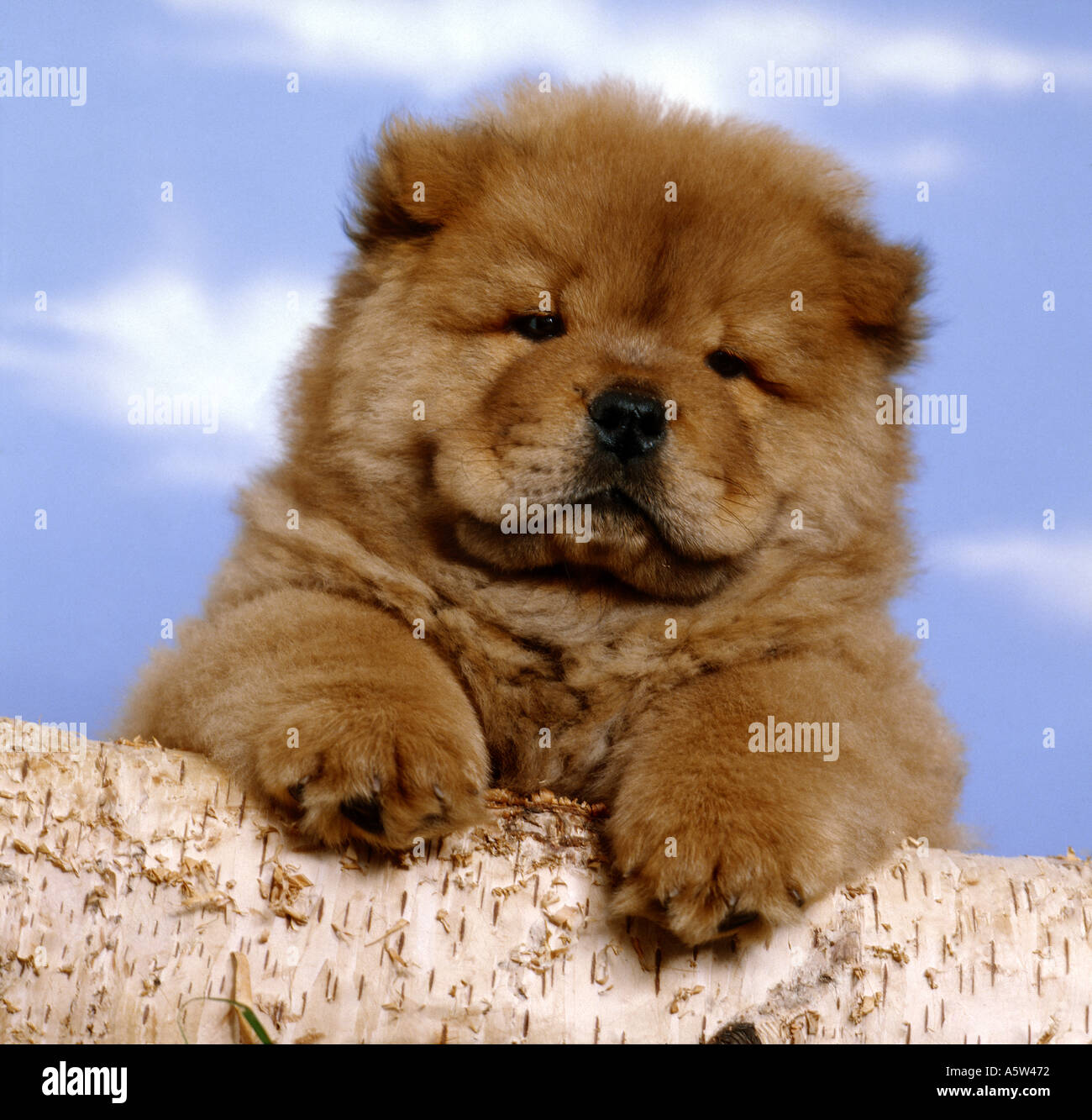Chow Chow Dog Puppy Looking Over Tree Trunk Stock Photo Alamy