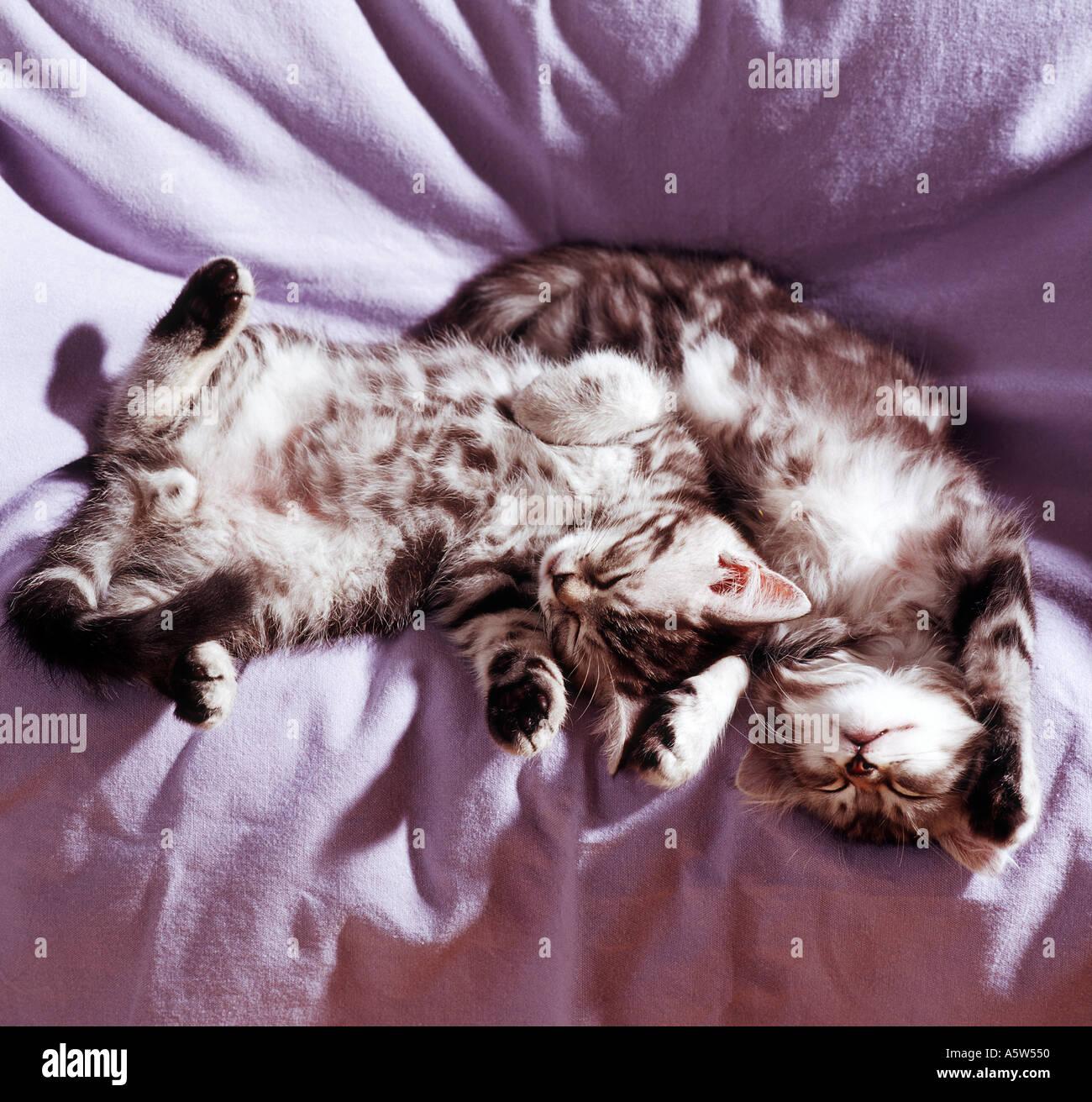 two sleeping domestic kitten Stock Photo
