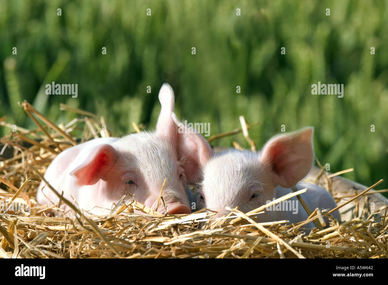 two young piglets in straw - Stock Image