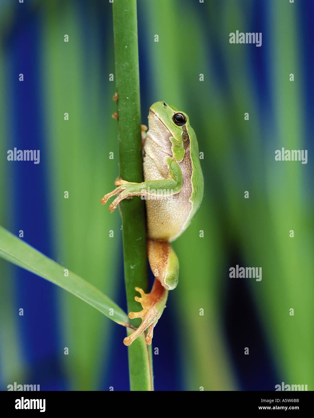 European treefrog - climbing / Hyla arborea - Stock Image