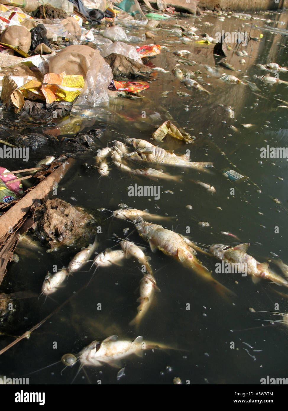 Dead fish floating in a river which has been polluted with rubbish and chemicals - Stock Image