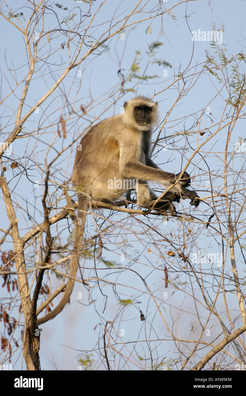 Common langur monkey alerts the rest of the forest to the tiger s presence by calling Sounds like a man clearing - Stock Image