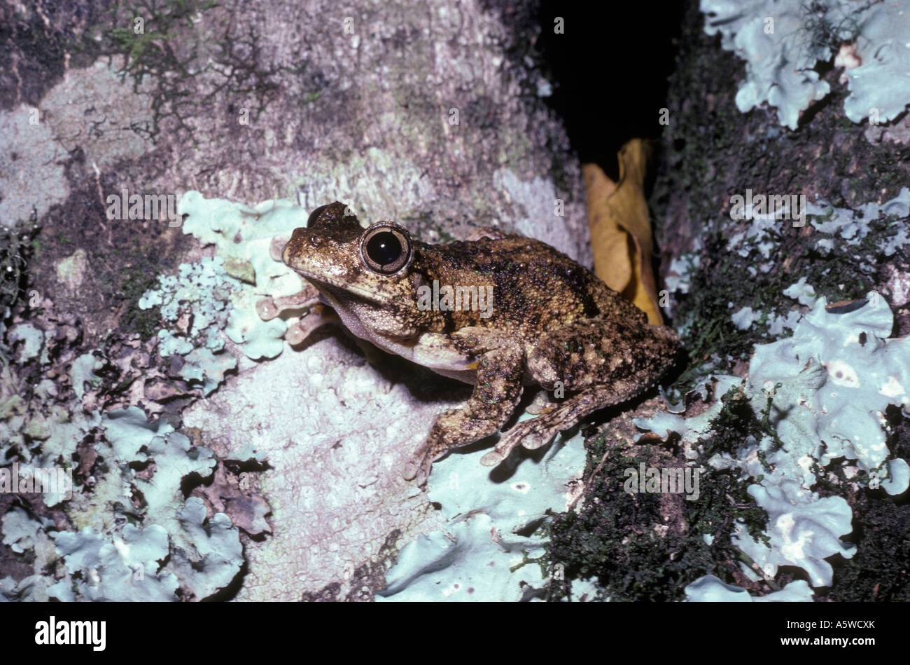Peron s tree frog Litoria peronii Hylidae at night in rainforest Queensland Australia - Stock Image
