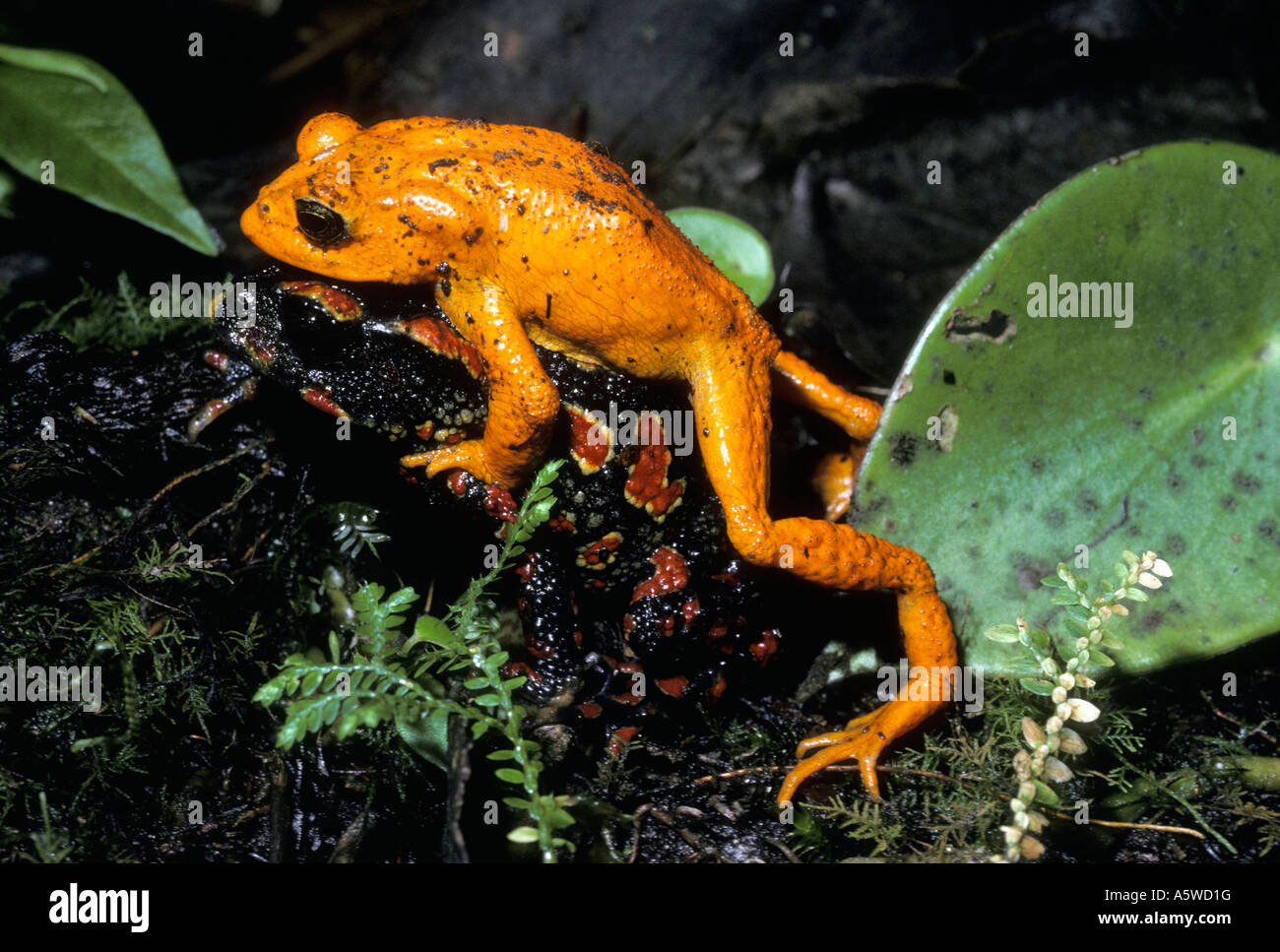 golden toad stock photos golden toad stock images alamy