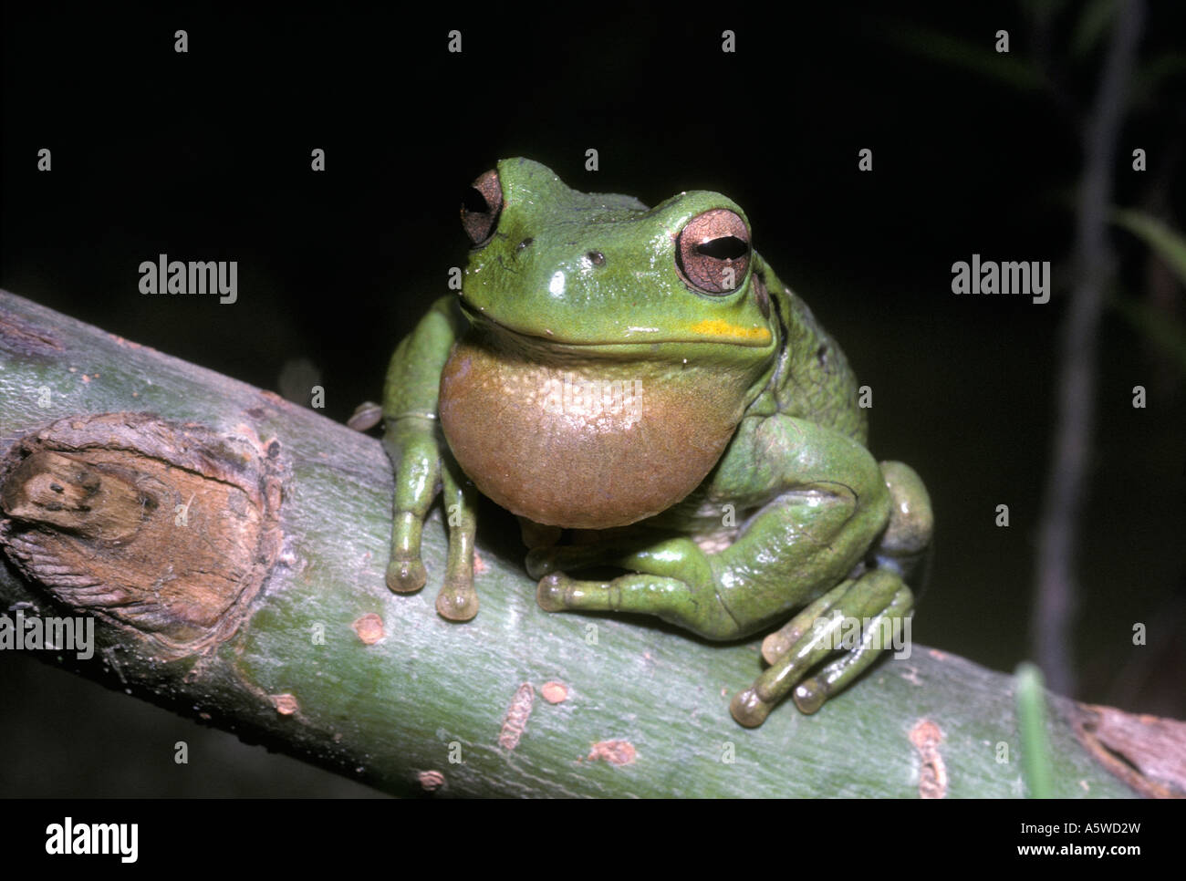 Andean tree frog Hyla pulchella Hylidae in typical daytime resting pose at 3400m in the Andes Bolivia - Stock Image
