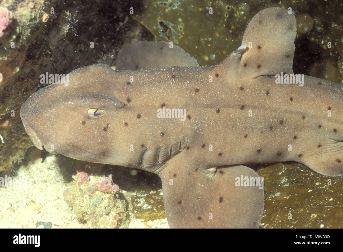 Horn Shark note horn by dorsal fin Heterodontus francisci Catalina Island California - Stock Image