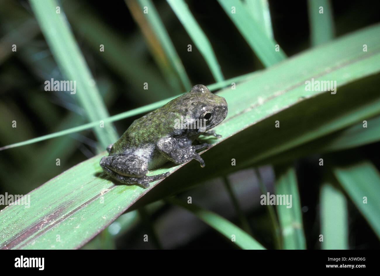 Gray tree frog Hyla chrysocelis Hylidae on vegetation beside a forest river S Carolina USA - Stock Image