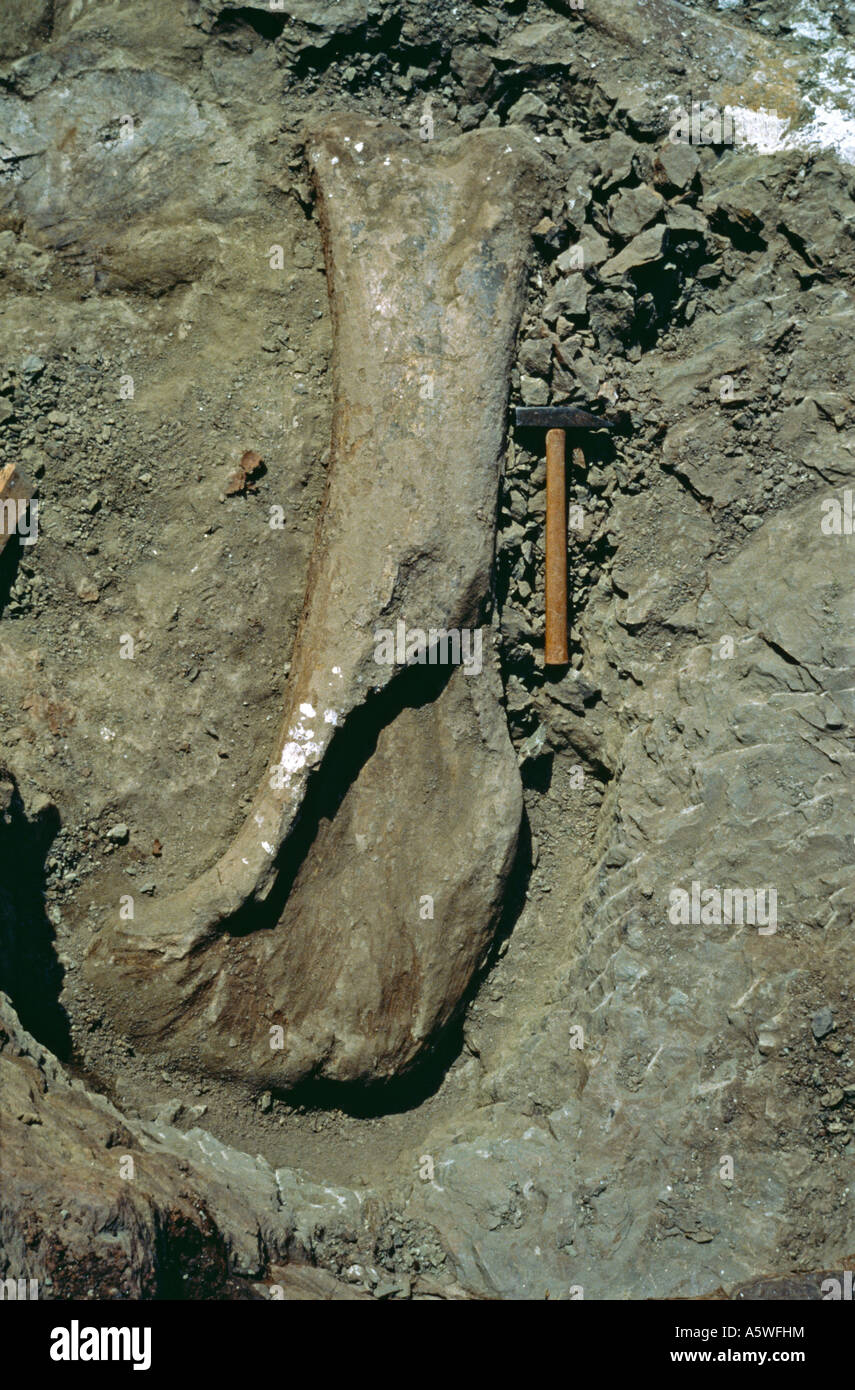 Sauropod excavation 1982 Stock Photo