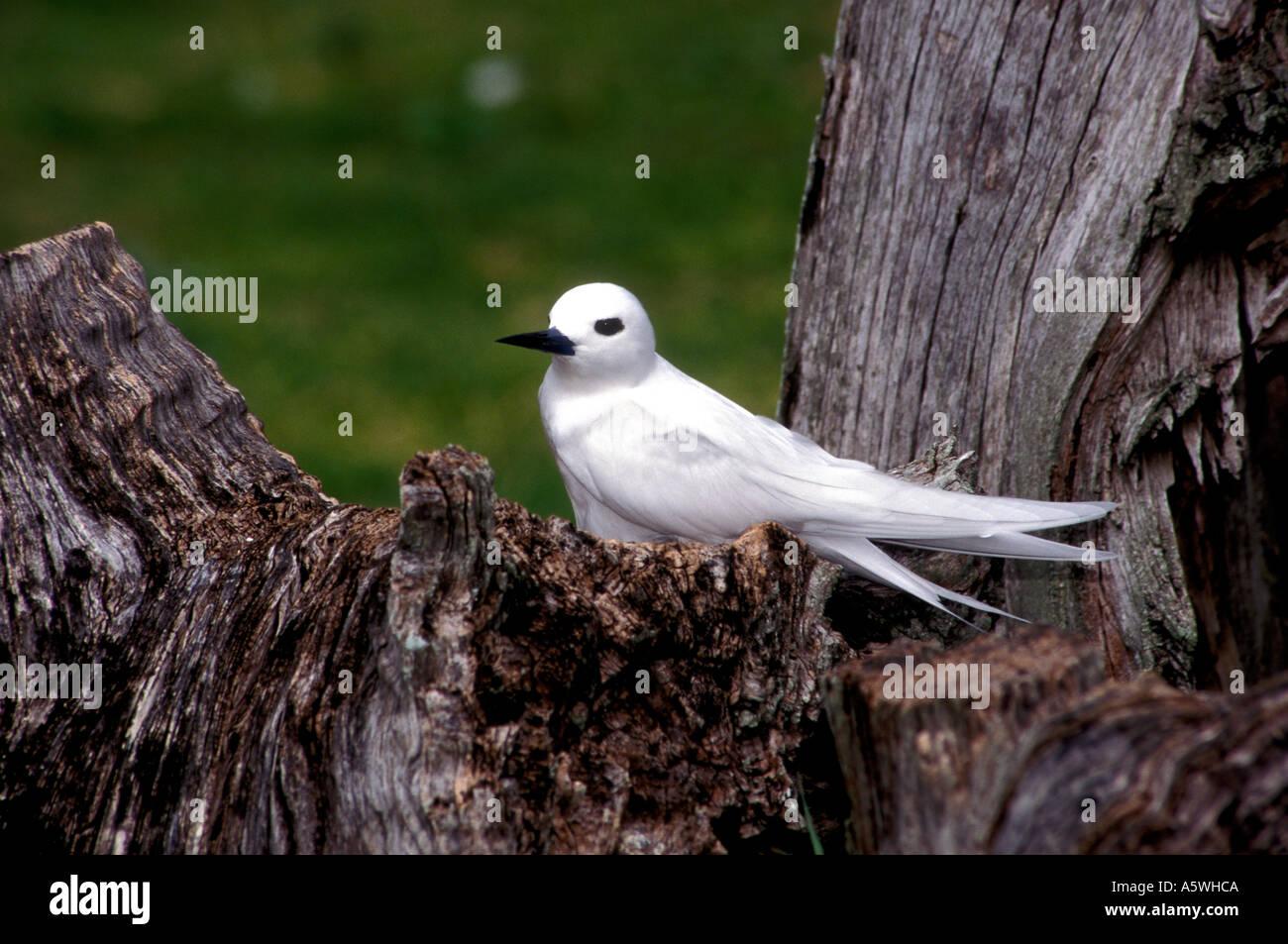 BT2-12 WHITE TERN ON DEAD TREE - Stock Image