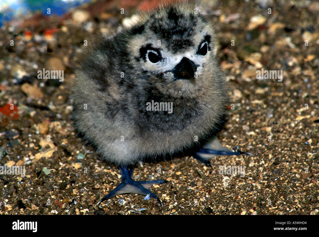 BT2-14A   WHITE TERN CHICK IN NEST AREA - Stock Image