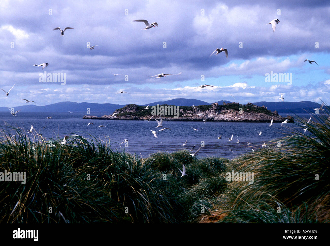 BT2 -18 FLYING SOUTH AMERICAN TERNS - Stock Image