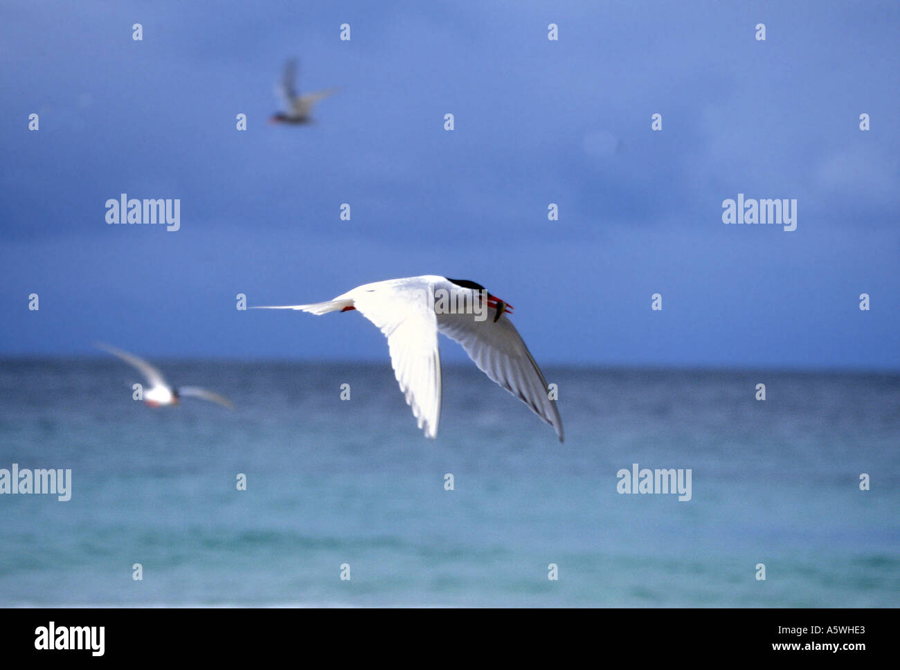 BT2-20 SOUTH AMERICAN TERN RETURNING WITH FISH FOR YOUNG - Stock Image