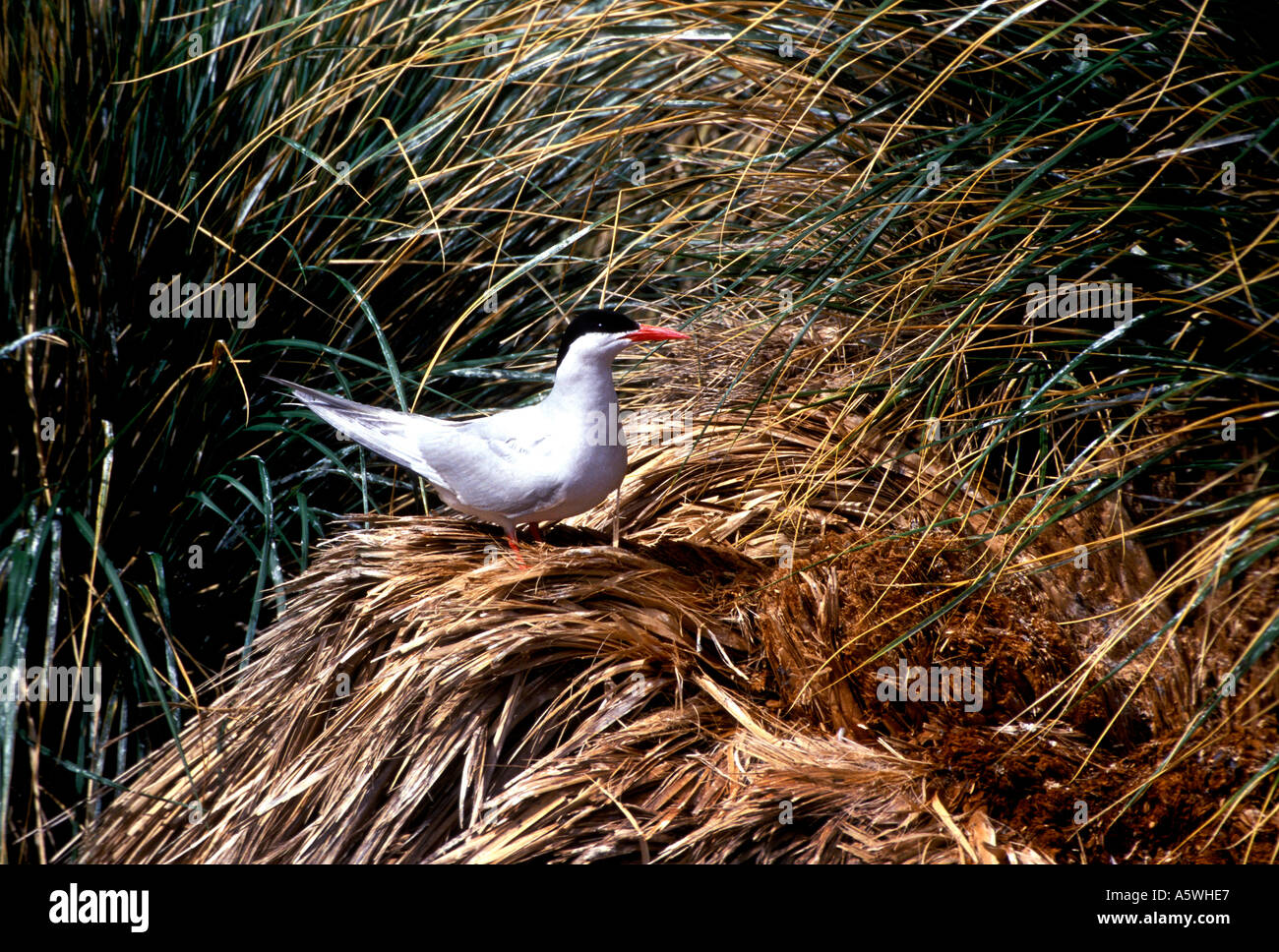 BT2-23 SOUTH AMERICAN TERN ON TUSSOCK - Stock Image