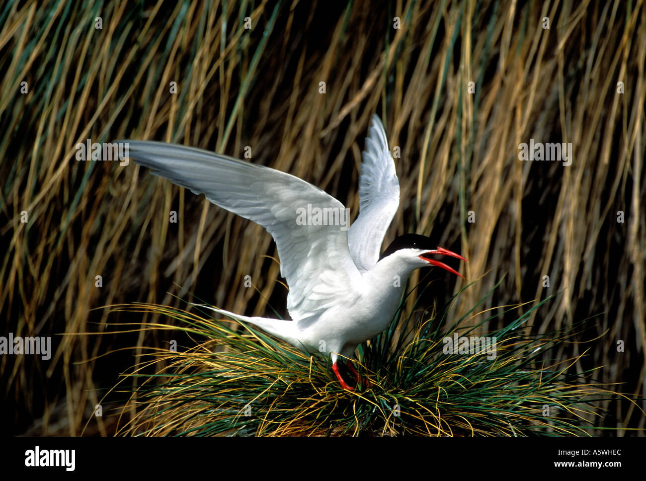 BT2-26 FLAPPING SOUTH AMERICAN TERN - Stock Image