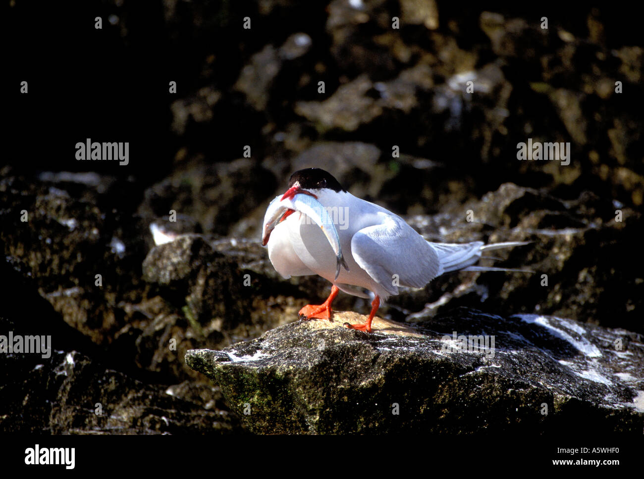 BT2-27 SOUTH AMERICAN TERN WITH LARGE FISH FOR CHICK - Stock Image