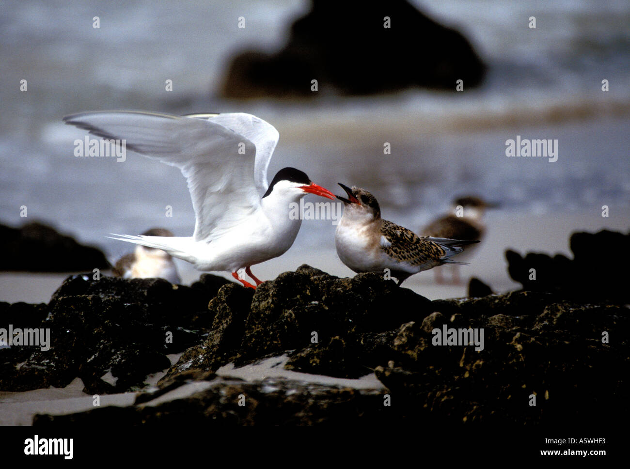 BT2-31 SOUTH AMERICAN TERN AND YOUNG - Stock Image