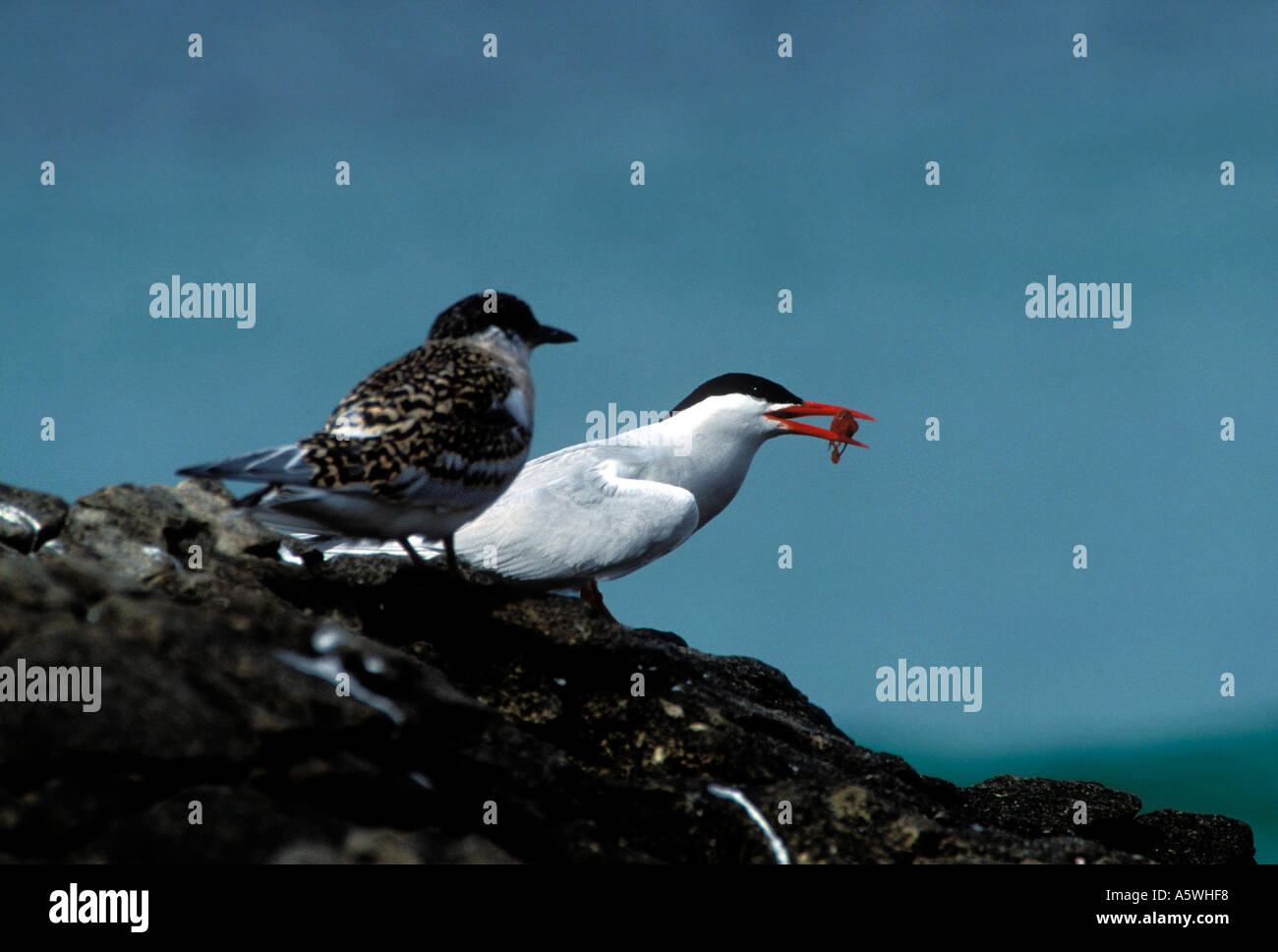 BT2-34 SOUTH AMERICAN TERN WITH FISH FOR YOUNG - Stock Image