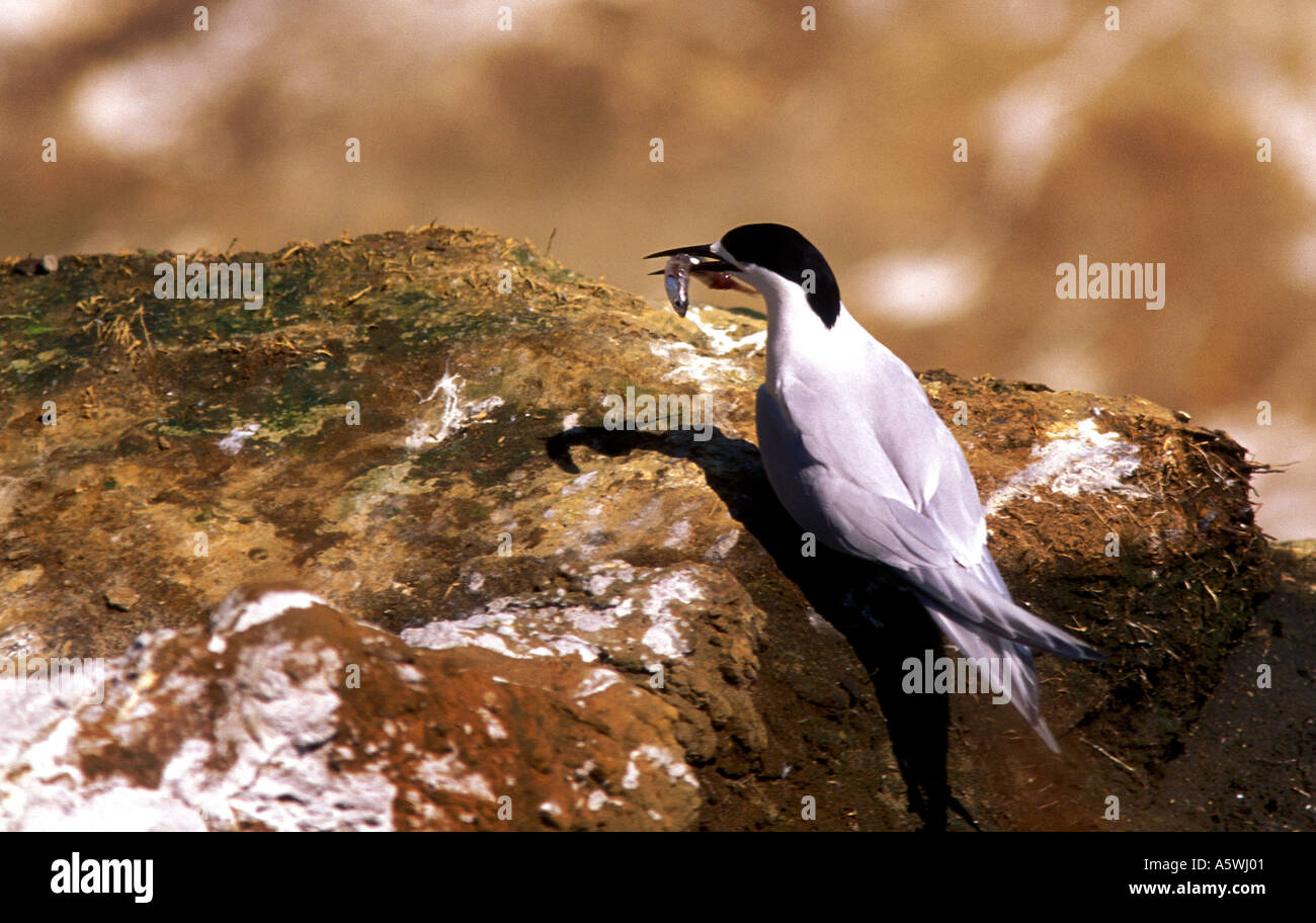 BT2-7 WHITE-FRONTED TERN ON ROCK WITH FISH - Stock Image