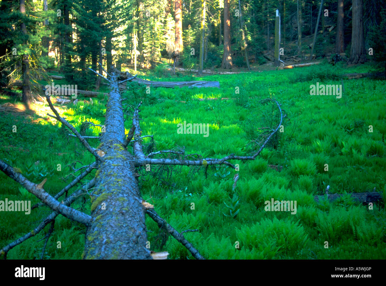 Painet hk2390 fallen tree sequoia forrest national park ca dead growth fall laying nature lying green - Stock Image