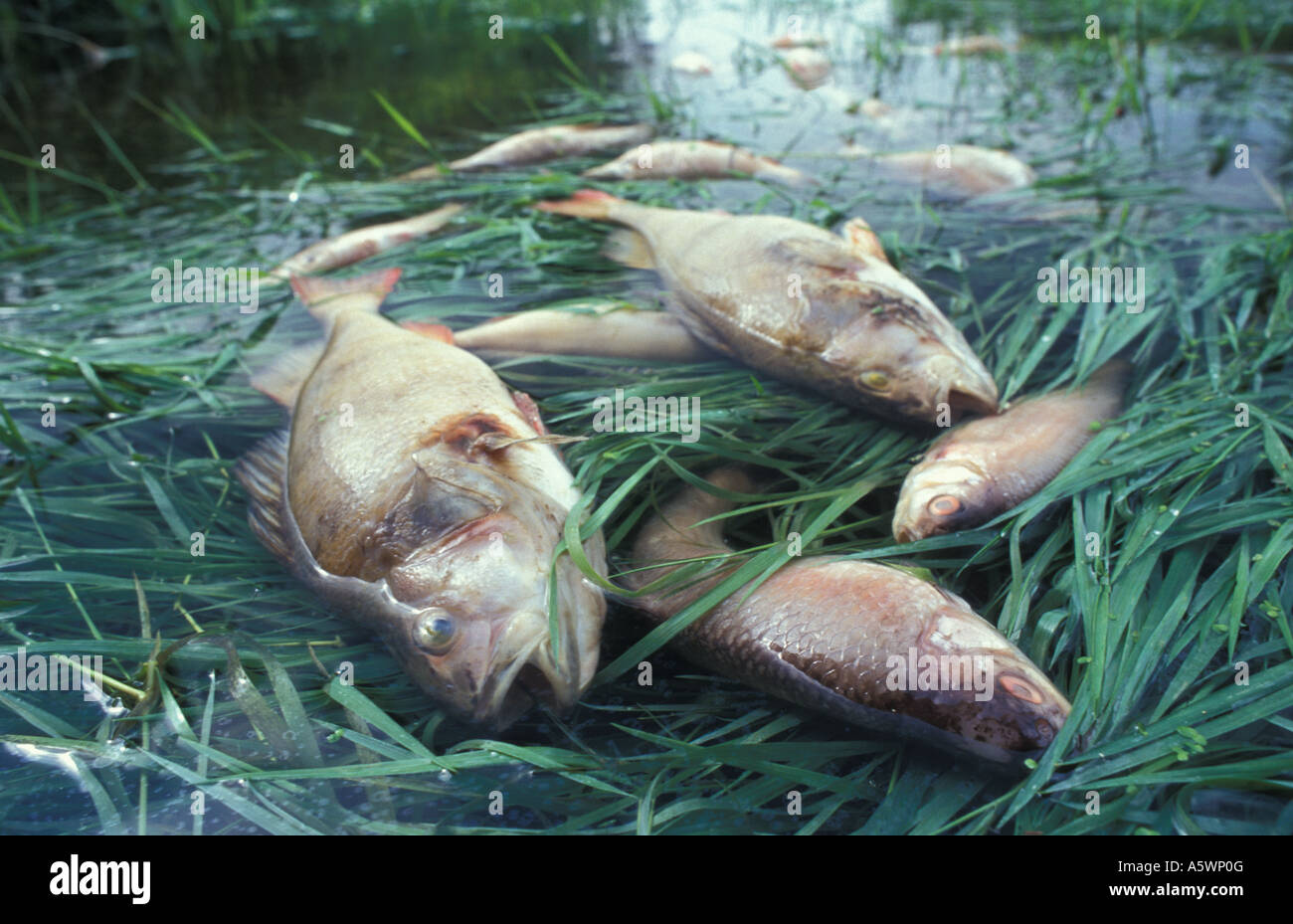 Fish killed following accident at sewage treatment works near Defford Bridge Worcestershire England - Stock Image