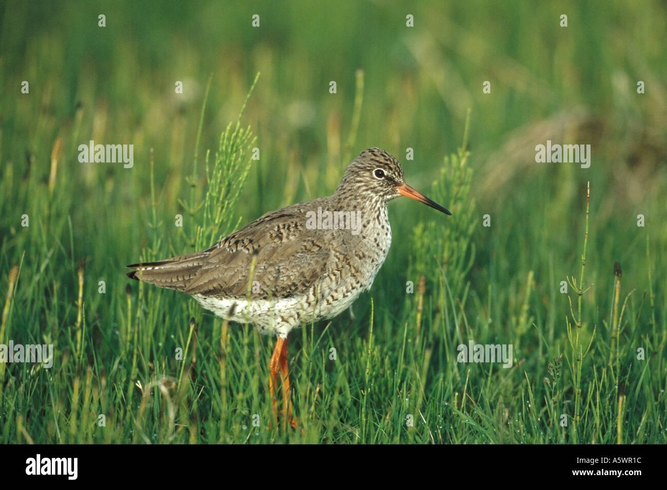 Redshank on the Outer Hebrides Stock Photo