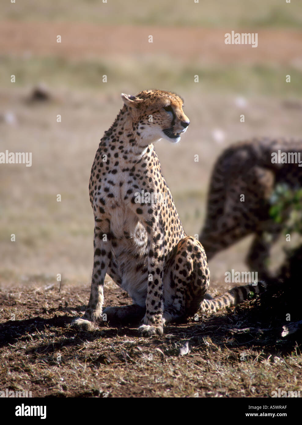 Cheetah in the Masai Mara Nature Reserve, Kenya, East Africa - Stock Image